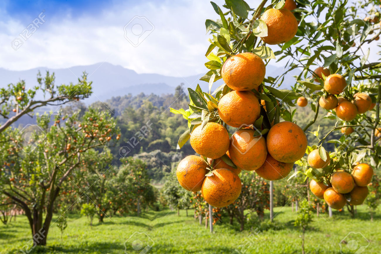 Citrus Australia: Harsher penalties for people who threaten industry